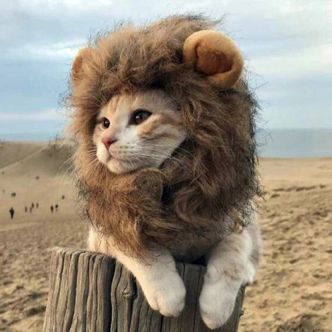 Lions_Mane_for_Cats_720x копия